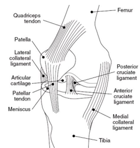 tendons in the knee diagram understand knee joint anatomy