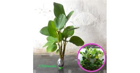jual tanaman pisang calathea hp