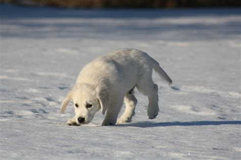 chion golden retriever puppies images gratuites neige hiver chiot faune la glace m 233 t 233 o arctique