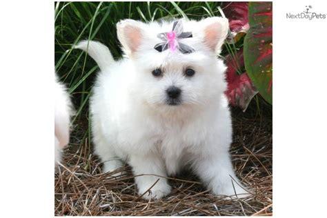 Pomeranian Shed by Pearl Pomapoo Less Shedding Pomeranian Puppy For Sale
