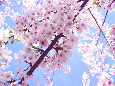 cherry blossom image beautiful pink cherry blossom wallpaper colors wallpaper 34590437 fanpop
