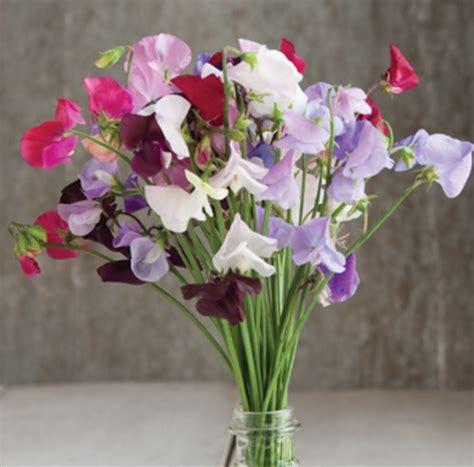 berisi 5 biji benih bunga pea benih sweet pea royal mix 5 biji non retail bibitbunga