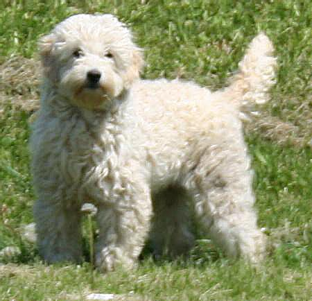 mini goldendoodles reviews golden doodle price image search results
