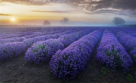 lavender fields provence france  beautiful places