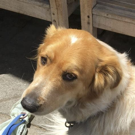 australian shepherd mix with golden retriever golden retriever and shepherd mix assistedlivingcares