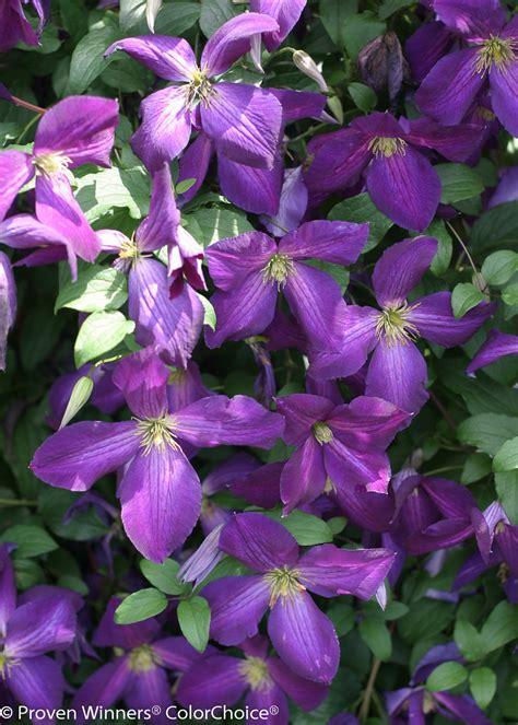 happy jack purple clematis  proven winners