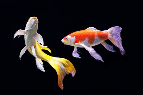 Items which you need to expect when acquiring koi fish new brand