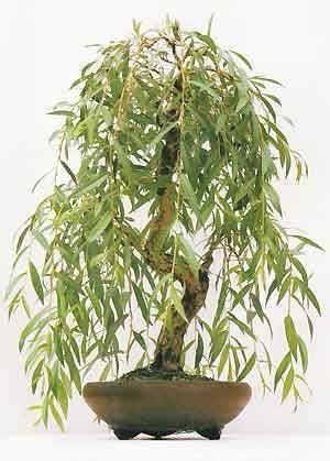 salice piangente in vaso bonsai salice piangente bonsai