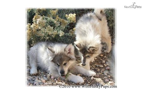 wolf puppies for sale in california california wolves wolf dogs hybrids puppies for sale in california html autos weblog