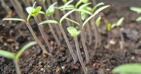 Bibit Cabai Hias cara meningkatkan produksi cabai dengan pemangkasan bibit petani top