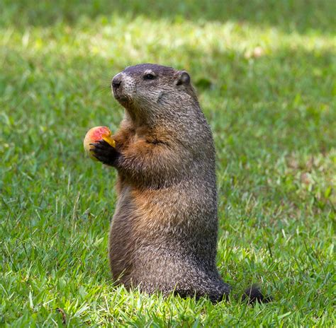 groundhog day groundhog name groundhog day groundhog name 28 images why sonny and