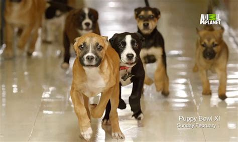 puppy bowl 2015 are you ready for puppy bowl 2015 this s