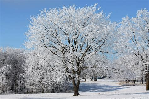 Frosty Tree - elm tree on frosty morning 2 photograph by karlena mcdougall