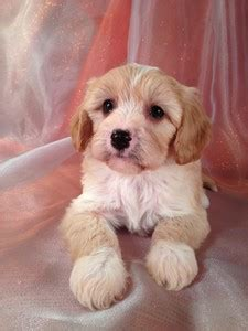 cavachon puppies for sale nc cavachon puppies for sale in carolina by carolina breeders usually