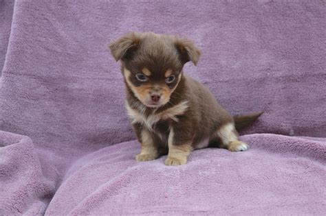 KC reg long haired chocolate chihuahua puppies   Pudsey