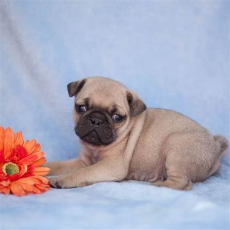 pug breed price pug and pug puppies dogs buy or for sale price