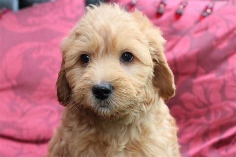 mini goldendoodle new jersey 1000 images about mini goldendoodles 2015 on
