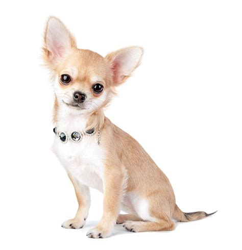 My Chihuahua Fidel Sun by If Your Pet Had A Dating Profile What Would Their Bio Say