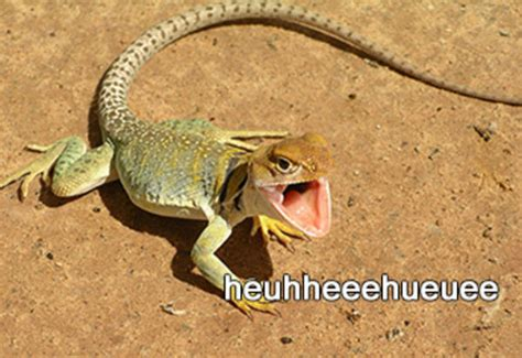 Laughing Lizard Meme - image 804870 laughing lizard hhhehehe know your meme