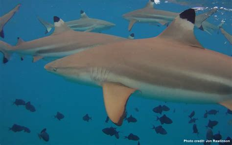 baby shark url baby blacktip reef sharks and ocean resiliency the last