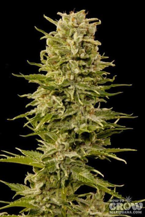 outdoor autoflowering feminized cannabis seeds