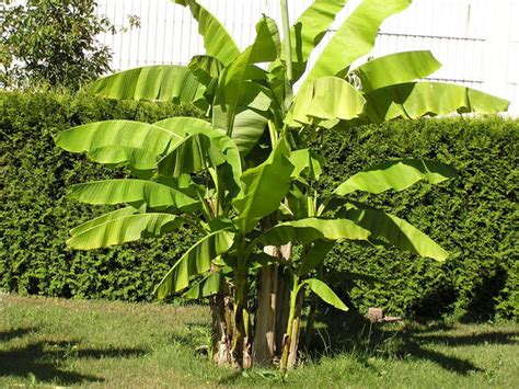 bambus garten stuttgart winterharte banane winterharte banane kaufen