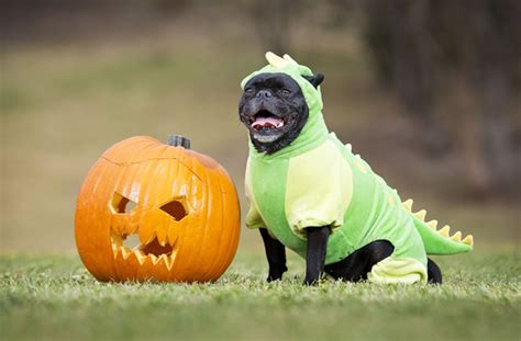 dfw pugs pug o ween is a real thing and it s fantastic goodtoknow