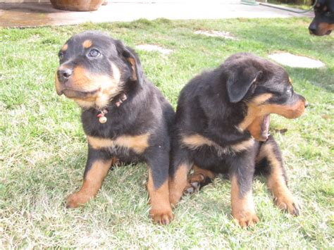 boxer rottweiler puppies for sale rottweiler puppies for sale