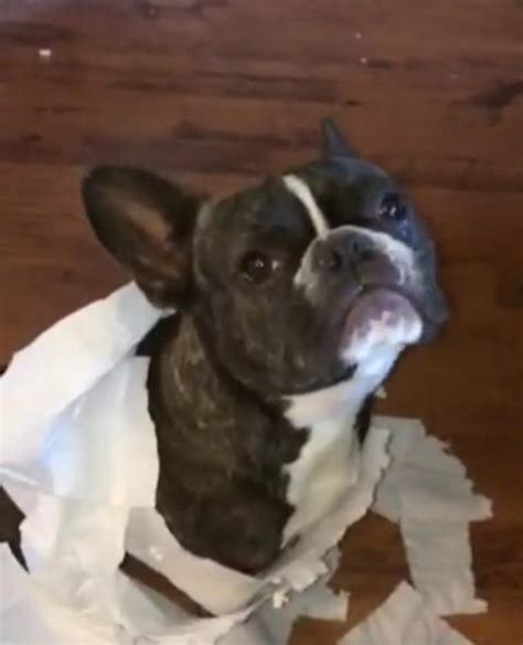 pug rescue scotia guilty bulldog chews toilet paper and gets outed by his best friend a s