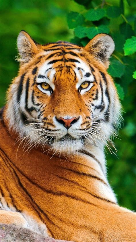 wallpaper for iphone 6 tiger tiger mobile phone wallpaper picture image