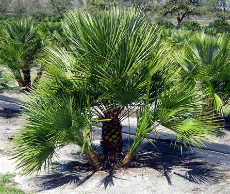 european mediterranean fan palm image gallery forest grove palms nursery