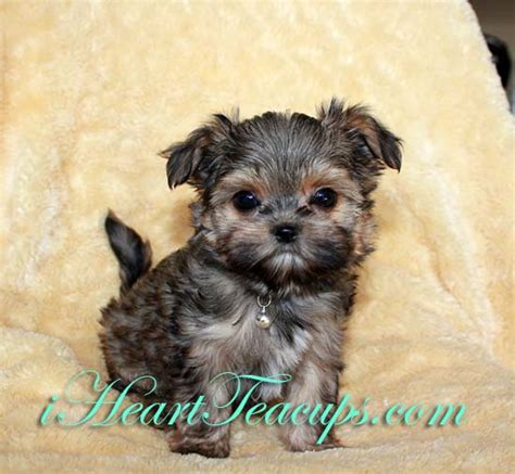 raising a teacup yorkie size teacup yorkie maltese breeds picture