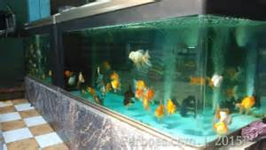 desain aquarium ikan koki aquarium besar memang mantap ferboes com