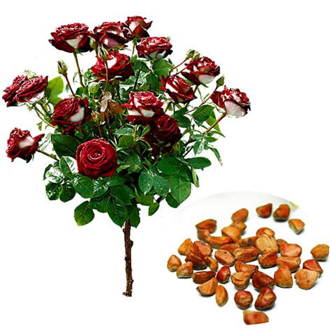 Benih Mawar Osiria Ruby Import 20pcs seed osiria ruby flower seeds garden plant with white ebay