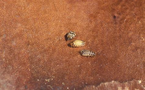 rug beetle anthrenus verbasci varied carpet beetle