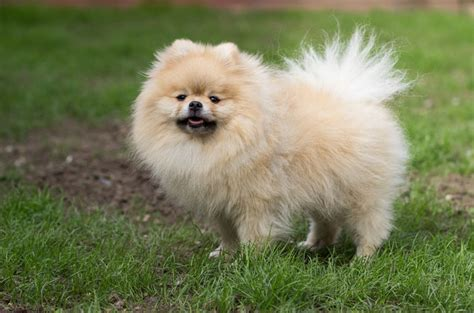 fluffy puppy breeds fluffy breeds list breed dogs spinningpetsyarn