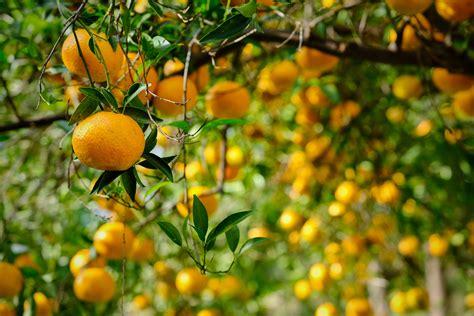 trees  shrubs   prunus genus