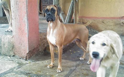 boxer puppies price boxer puppies for sale samuel 1 11842 dogs for sale price of puppies