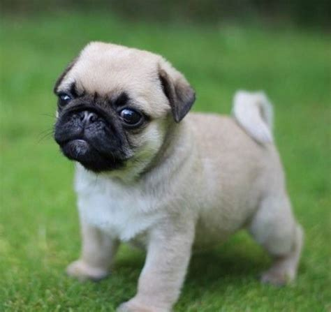 perros pug imagenes de perros pug bebes 2017 renovaci 243 n en el hogar