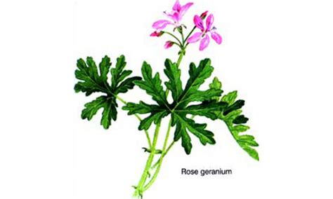 mosquito repellent plants in ta fl