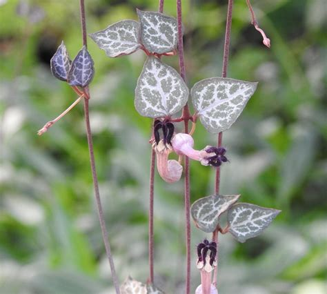 string of plant string of hearts ceropogia woodii plant organic strictly medicinal seeds