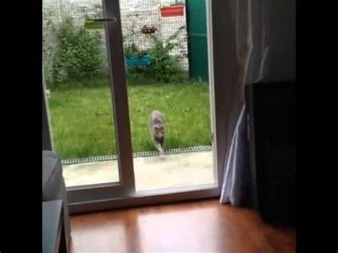 Cat Runs Into Glass Door by Il Gatto Furioso Cat