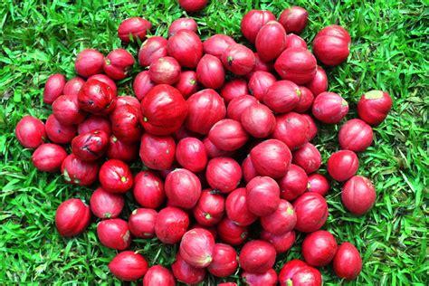 Teh Mahkota Dewa Nikmat Dan Sehat pola hidup sehat cara hidup sehat makanan sehat manfaat buah buahan kehamilan etc
