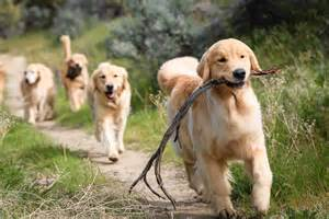 golden retriever puppies boise golden retrievers tamarack goldens