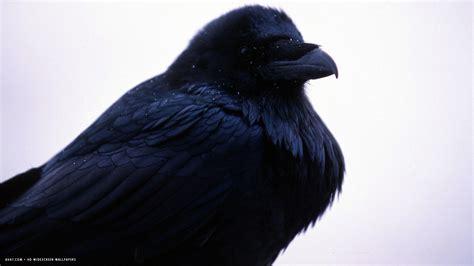 wallpaper dark bird black bird raven wallpaper 1920x1080 11826
