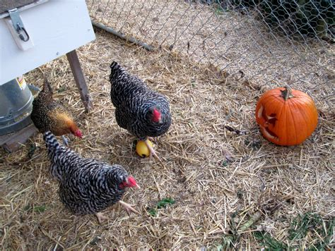 my backyard chickens is it legal to raise chickens in my suburban backyard
