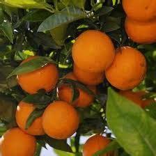 Jual Bibit Eceng Gondok hasil bumi tani agar tabulot jeruk sunkist rajin berbuah