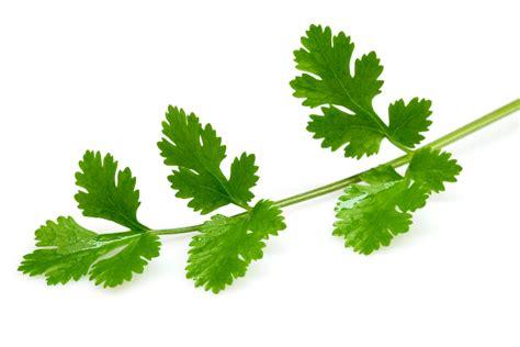 coriander cilantro parsley vs cilantro little things that make all the
