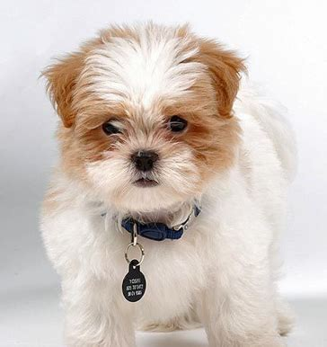 shih tzu respiratory problems meet the shih tzu maltese mix aka mal shi malti zu or malti tzu