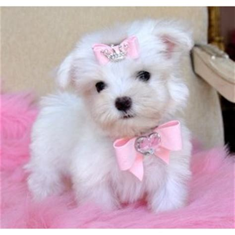maltese dogs for sale teacup maltese puppies for sale polyvore